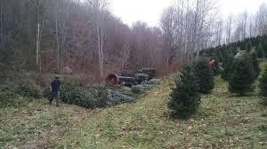 Christmas Tree Seedlings by Swfl Christmas Trees Christmas Tree Farm