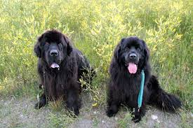 Do Newfoundlands Shed Hair by Dog Discussions Back Alley Soapbox Page 2
