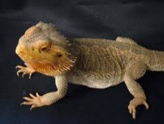 science mystery what came out of the bearded dragon s nose