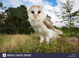 Barn Owl (Tyto Alba), Captive, Cumbria, England, United Kingdom ... This Galapagos Barn Owl Lives With Its Mate On A Shelf In The Baby Barn Owl Owls Pinterest Bird And Animal Magic Tito Alba Sitting On Stone Fence In Forest Barnowl Real Owls Echte Uilen Wikipedia Secret Kingdom Young Tyto Roost Stock Photo 206862550 Shutterstock 415 Best Birds Mostly Uk Images Feather Nature By Annette Mckinnnon 63 2 30 Bird Great Grey