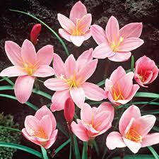 10 pink lilies blooms each season large pink