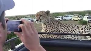 100 Safari Truck Cheetah Shocks Tourists By Jumping Up On Safari Jeep Fox News