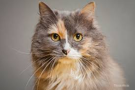 haired cat your cat s war against big bad infectious diseases