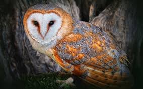 Barn-owl-wide.jpg (2560×1600) | A N I M A L S | Pinterest | Owl ... Barn Owl Front View Wood Carving My Carvings Pinterest Audubon Field Guide Spring2015vcuornithology The Owls Perch Uncommon Tyto Alba Species Paris Best 25 Owls Ideas On Beautiful Owl And Bee Alerts Scribble Scrabble Babble Schiereule Adult In Gliding Flight