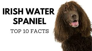 Welsh Springer Spaniel Shedding by Irish Water Spaniel Top 10 Interesting Facts Youtube