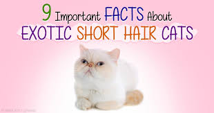 shorthair cat price 9 facts about shorthair cats