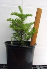 Plantable Christmas Trees For Sale by Potted Live Trees Redrock Farm