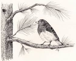 Juncos Drawing Junco In The Pine Tree by Syl Lobato