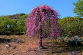 Redbud Weeping Covey