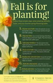 7 tips for growing daffodils including tips on planting daffodils