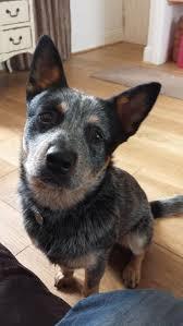 Blue Heeler Mix Shedding by 20 Best Puppy Land Images On Pinterest Cattle Dogs Australian