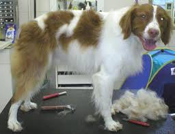 Do Brittany Spaniels Shed Hair by Groomers Bbs Grooming Brittany Spaniels