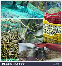 Harvest time in olive garden Stock Royalty Free Image