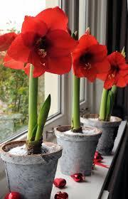 plants amaryllis 46 best amaryllis bulbs images on