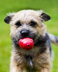 Do Border Terriers Shed by Border Terrier A Complete Guide The Happy Puppy Site