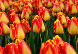 fall planted flower bulbs buy from the farm for wholesale