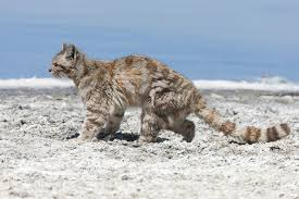 mountain cat andean mountain cat leopardus jacobitus