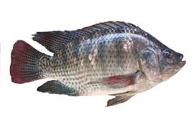 Tilapia Is Aquacultures Version Of Poultry Says Rabobank Photo Istock Metalpitt