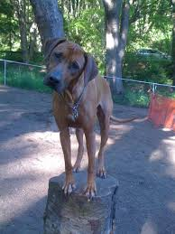 Do Rhodesian Ridgebacks Drool by Dog Breeds Iv The Good The Bad And The Ugly E G I Don U0027t Need It