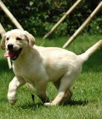 Low Shedding Dogs In India by Dog Sales Dog Sales Chennai Dog Sales In Tamilnadu Dog Sales In