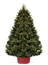 Potted Christmas Trees For Sale by Xmastree Live Potted Christmas Trees Delivered Free In Toronto And