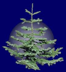 Types Of Christmas Trees To Plant by Pumpkins And Christmas Trees Reno