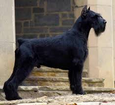 Do Giant Schnauzers Shed by 83 Best Giant Schnauzer Images On Pinterest Giant Schnauzer