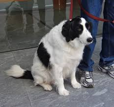American Eskimo Shedding Problem by Border Collie Springer Spaniel Mix Grumble Mumble Stupid Rain