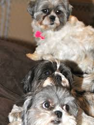 Do Morkies Shed A Lot by Wal Mart Same Shih Tzu Different Day