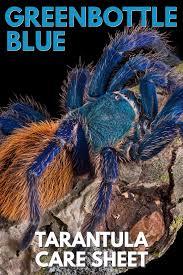 Do Tarantulas Shed Their Legs by Greenbottle Blue Gbb Chromatopelma Cyaneopubescens Tarantula