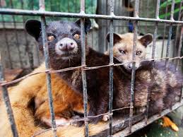 Civets Were Harmed In The Making Of Worlds Most Expensive Coffee