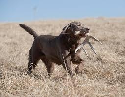 Deer Antler Shed Trap by On The Hunt For Antler Sheds Missouri Department Of Conservation