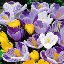 buy your crocus bulbs direct from the growers