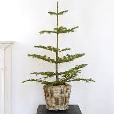 A Fresh Cut Tabletop Noble Fir With Blue Green Needles Measures From 3 To