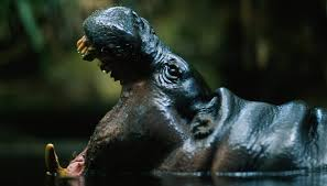 Pygmy Hippos Are West African Endemics Found Nowhere Else