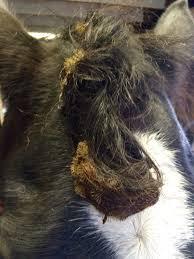 Horse Hair Shedding Blade by Grooming U2013 Equine Ink