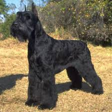 Good Big Non Shedding Dogs by Best Guard Dogs American Kennel Club