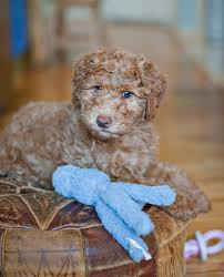 Do Wheaten Terrier Dogs Shed by Look At That Face He Is A Whoodle A Wheaten Terrier Poodle Mix