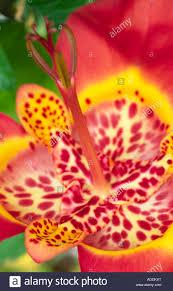 flowers tigridia iridaceae tiger flower iris like summer