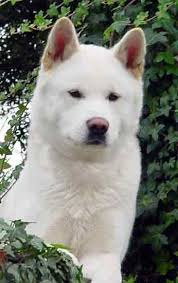Do Akita Dogs Shed Hair by 25 Best Akitas U003c3 Images On Pinterest Akita Dog Akita Puppies