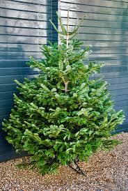 Nordmann Fir Christmas Trees Wholesale by Christmas Trees The Chelsea Gardener