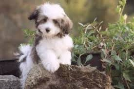 Hypoallergenic Dog Breeds That Dont Shed by Top 10 Dogs That Don U0027t Shed Bang Up Lists Apartment Dogs That Don