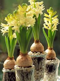 flowering bulbs for winter hgtv