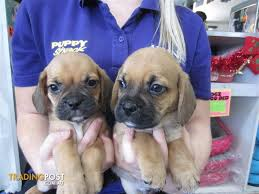 do pugs and puggles shed pug x beagle puggle puppies at puppy shack brisbane for sale in