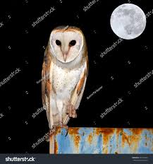 Barn Owl Moon Night Stock Photo 345134642 - Shutterstock White Screech Owl Illustration Lachina Bbc Two Autumnwatch Sleepy Barn Owl Yoga Bird Feeder Feast And Barn Wikipedia Attractions In Cornwall Sanctuary Wishart Studios Red Eastern By Ryangallagherart On Deviantart Owlingcom Biology Birding Buddies 2000 Best 2 Especially Images Pinterest Screeching Youtube
