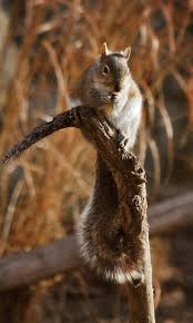 Portsmouth Halloween Parade Thriller Dance by 92 Best Squirrel Images On Pinterest Animals Squirrels And