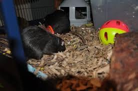 choosing substrate isamu rats