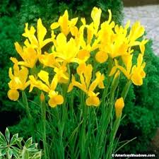 iris bulbs purple iris bulb iris bulbs for sale australia dresse