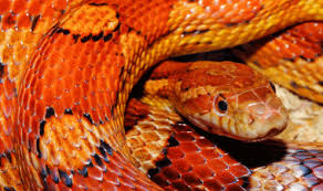 Corn Snake Shedding Signs by Care Sheet For Corn Snakes Reptiles Lounge