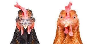 hühnermast deutsche caterer heben standards catering